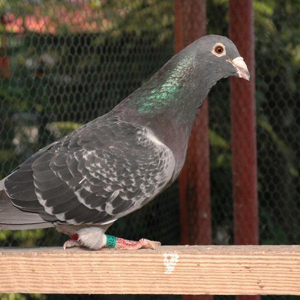 Gołębie wmieście